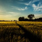 natuurfotografie-fields of gold-harriejegerings